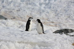 Two Chinstrap penguins in Antarctica. Two Chinstrap penguins (Pygoscelis antarctica) in Antarctica, standing on the snow, looking at each other Royalty Free Stock Images