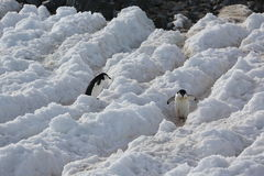 Two Chinstrap penguins in Antarctica. Two Chinstrap penguins (Pygoscelis antarctica) in Antarctica. Walking on the path Stock Photography