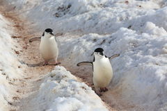 Two Chinstrap penguins in Antarctica. Two Chinstrap penguins (Pygoscelis antarctica) in Antarctica. Walking on the path Royalty Free Stock Photography