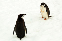 Two chinstrap penguins interested in each other, Antarctica Royalty Free Stock Images