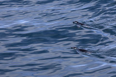 Two chinstrap pinguins swimming in the Antarctic waters Royalty Free Stock Photos