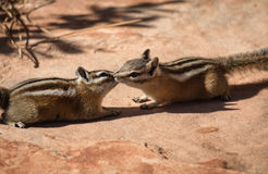 Two chipmunks in free nature Royalty Free Stock Photo