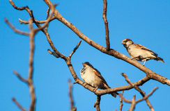 Two chipping sparrows Royalty Free Stock Photo