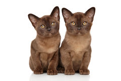 Two chocolate Burmese kitten on white Royalty Free Stock Photo