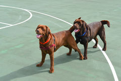 Two Chocolate Lab dogs. Two Chocolate Labrador Retriever puppies playing on a basketball court royalty free stock images