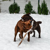 Two Chocolate Lab dogs playing. Two Chocolate Labrador Retriever puppies playing in the snow with a stick stock image