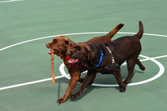 Two Chocolate Lab dogs playing. Two Chocolate Labrador Retriever puppies playing with a stick royalty free stock image