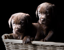 Two Chocolate Labrador Puppies in a Basket. Low Key Shot of Two Chocolate Labrador Puppies in a Basket stock photo