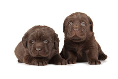 Two Chocolate Labrador Retriever Puppies. (4 week old, isolated on white background royalty free stock photo