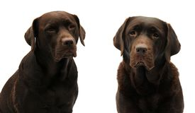Two chocolate labradors Stock Photography