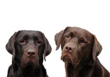 Two chocolate labradors. A shot of two adorable chocolate labradors royalty free stock image