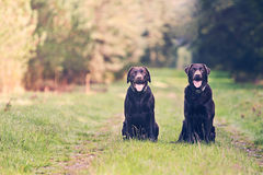 Two Chocolate Labradors on Forest Path Stock Images