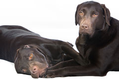 Two Chocolate Labradors Lying Down Royalty Free Stock Photos