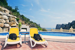 Two Chocolate Labradors Relaxing by the Pool Stock Photography