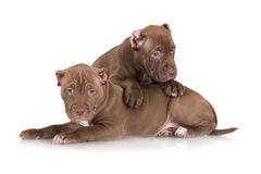 Two chocolate pit bull puppies together Stock Photography
