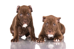 Two chocolate pitbull puppies. Two brown pitbull puppies on white royalty free stock photos