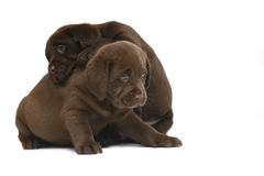 Two chocolate puppies. Two puppies, playing on a white background Stock Image