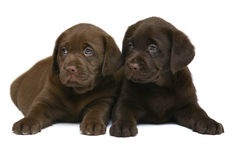 Two chocolate puppies. Two puppies on a white background Royalty Free Stock Photography