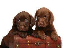 Two chocolate puppies with a wooden trunk. Two chocolate puppies on a white background Stock Photography