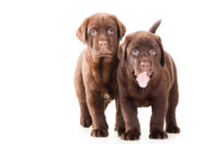 Two Chocolate Retriever puppies on isolated white Royalty Free Stock Photos