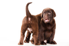 Two Chocolate Retriever puppies on white Royalty Free Stock Image