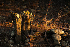 Two Chopped Trunks Stock Photography