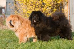 Two Chow-Chow dogs posing Stock Images