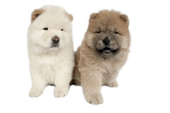 Two Chow-chow puppies . Royalty Free Stock Image