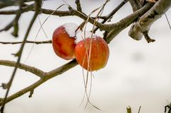 Two Christmas apples covered with snow. royalty free stock photography