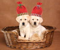Two Christmas puppies Royalty Free Stock Photos