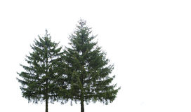 Two christmas trees royalty free stock photos