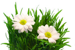 Two chrysanthemum in grass Stock Photo
