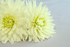 Two Chrysanthemums. Stock Photos