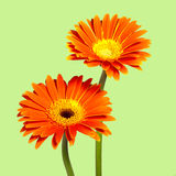 Two chrysanthemums Royalty Free Stock Photo