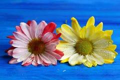 Two Chrysanthemums Royalty Free Stock Image