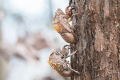 Two cicada slough holding in the tree Stock Photo