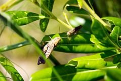 Two cicadas want to contact stock images