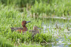 Two Cinnamon Teal ducks. Stock Photos
