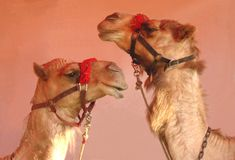 Two Circus Camels Stock Images