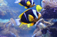 Two Clark's Clownfish Swimming Near Anemone Royalty Free Stock Photos