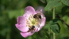 Two Clark`s Miner Bees collect pollen on a wild dog-rose flower