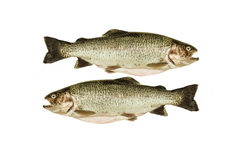 Two cleaned trout on white background Royalty Free Stock Images