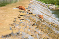 Two cleaning ducks on river waterfall Stock Images
