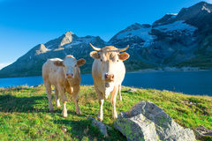 Two clear cows grazing in the high mountains. Of the Swiss Alps with glaciers away Royalty Free Stock Images