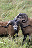 Two close Blackbellied sheep. Royalty Free Stock Photography