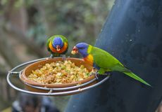 Two close up exotic colorful red blue green parrot Agapornis lor. Ikeet eating feeding from bowl of grain Royalty Free Stock Photos