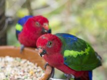 Two close up exotic colorful red blue green parrot Agapornis parakeet. Eating feeding from bowl of grain,selective focuse on eye Stock Image