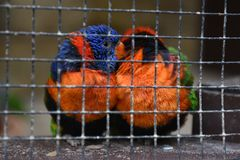 Two caged colorful birds cuddling stock photos
