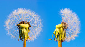 Two closeup overblown dandelion heads Royalty Free Stock Photography