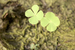 Two  Clovers. A pair of  four leaf clovers in field Royalty Free Stock Photography
